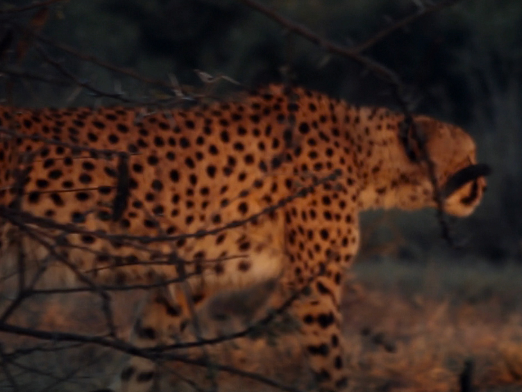 Spotting Cheetahs: Identifying Individuals by Their Footprints
