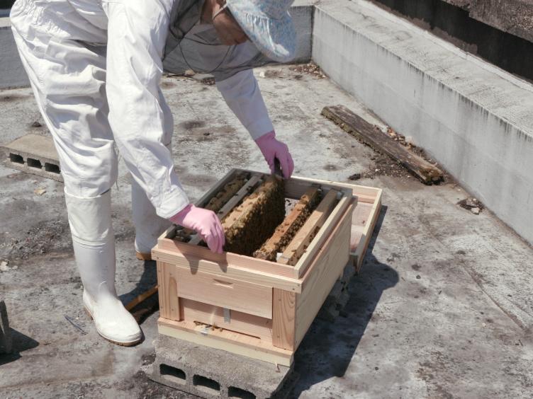Preparación de colonias individuales-cohortes y tratamiento con hormona del trabajador abejas para analizar la fisiología asociada con clases, y / o Sistema Endocrino