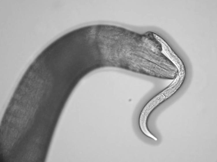 Assaying Predatory Feeding Behaviors in <em>Pristionchus</em> and Other Nematodes