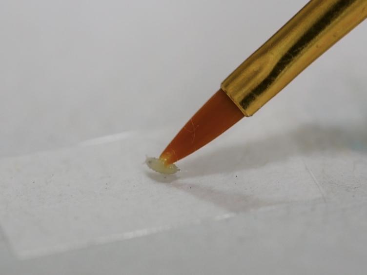 <em>果蝇</em>的制备及心功能<em>体内</em>使用光学相干显微镜成像纵向(OCM)