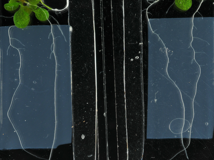 A Simple Chamber for Long-term Confocal Imaging of Root and Hypocotyl Development