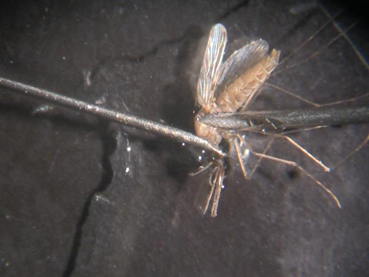 <em>في فيفو</em> تتبع من تطوير وذمة والأمراض الوعائية الوعائية في نموذج من الملاريا الدماغية التجريبية باستخدام التصوير بالرنين المغناطيسي