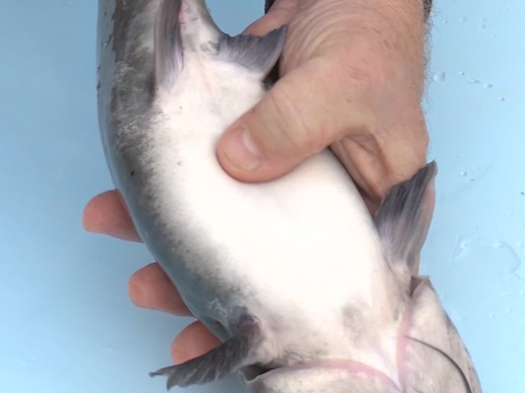 Microinjection of CRISPR/Cas9 Protein into Channel Catfish, <em>Ictalurus punctatus</em>, Embryos for Gene Editing