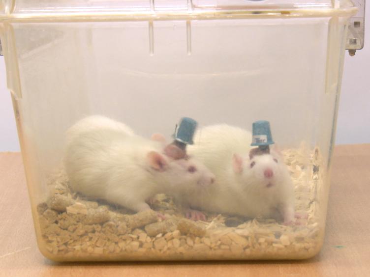 En trådlös, dubbelriktad Interface för <em>In Vivo</em> inspelning och stimulering av Neural aktivitet i fritt bete råtta