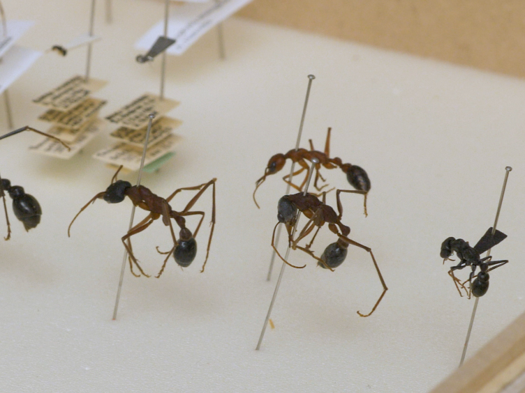 Techniques for Investigating the Anatomy of the Ant Visual System
