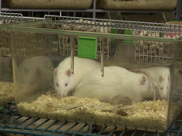 Новый метод для стимулирования депрессии подобное поведение у крыс