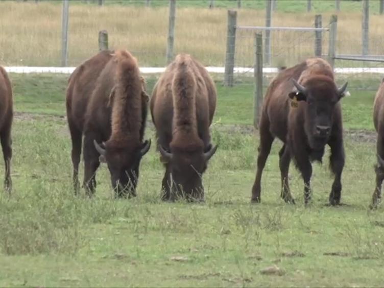 आरएनए विश्लेषण के लिए बड़े जानवरों से लिम्फ नोड्स के संग्रह और प्रसंस्करण: बड़े पशु प्रजातियों के लिम्फ नोड Transcriptomic अध्ययन के लिए तैयारी