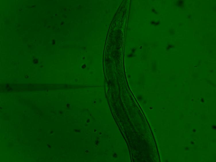 Forbedret genomet redigering med Cas9 Ribonucleoprotein i ulike celler og organismer