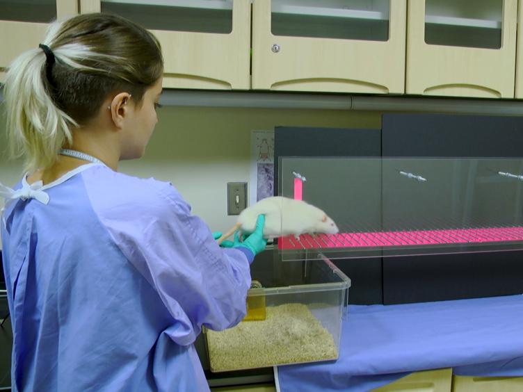 מכרסם ההתנהגותי בוחן להערכת תפקודית גירעונות הנגרמת על ידי ההשרשה Microelectrode של קליפת המוח המוטורית עכברוש