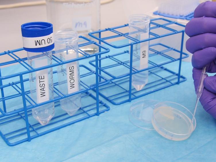 <em>Caenorhabditis</em> Zeef: Een Low-tech Instrument en methodologie voor het sorteren van kleine meercellige organismen