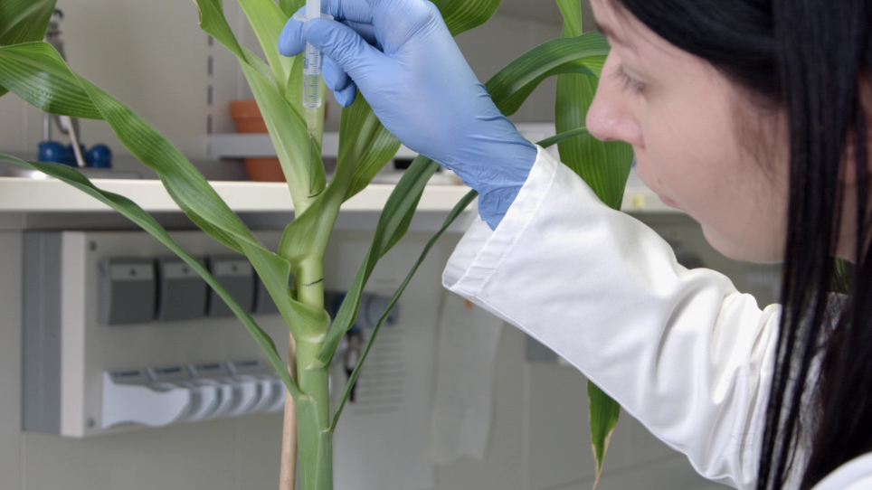 Using <em>Ustilago maydis</em> as a Trojan Horse for In Situ Delivery of Maize Proteins