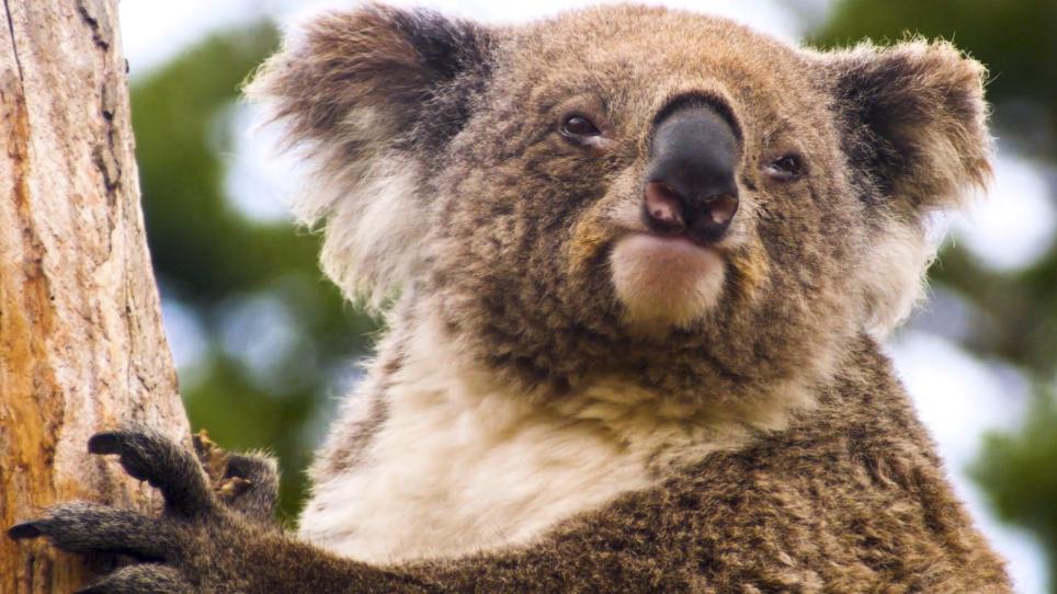Cortisol Measurement in Koala (<em>Phascolarctos cinereus</em>) Fur
