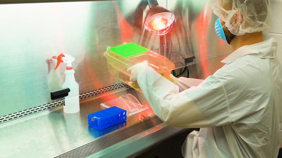 Un modelo de dos colores BLT humanizados con un microbioma intestinal humano estable y un sistema inmune humano
