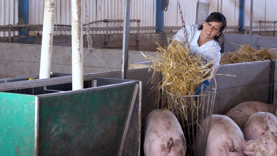 Providing Meaningful Environmental Enrichment and Measuring Saliva Cortisol in Pigs Housed on Slatted Flooring