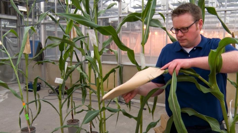 <em>Agrobacterium</em>-Mediated Immature Embryo Transformation of Recalcitrant Maize Inbred Lines Using Morphogenic Genes