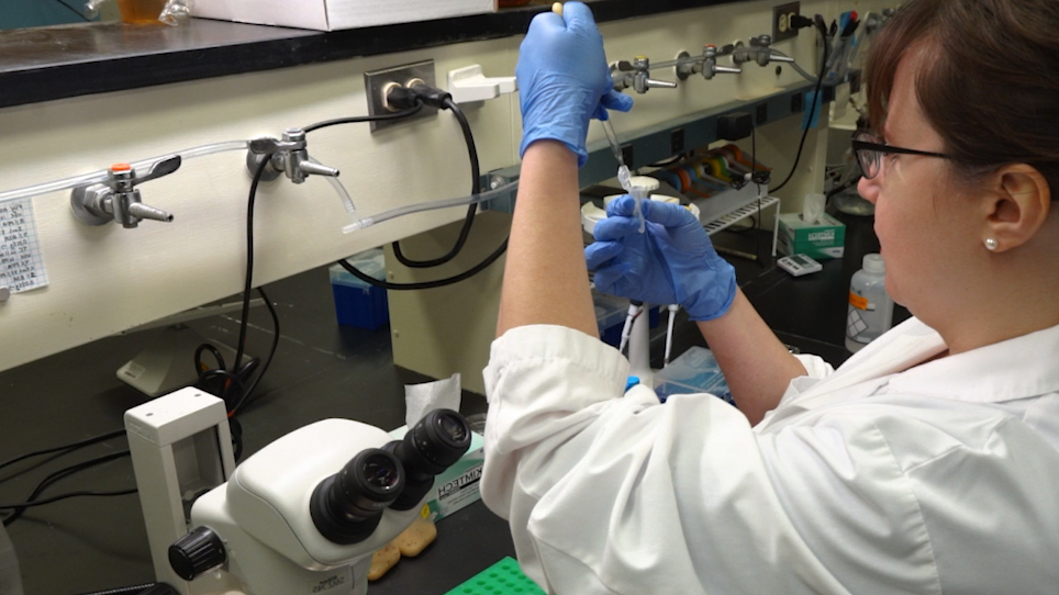 Preparation of <em>Drosophila</em> Larval and Pupal Testes for Analysis of Cell Division in Live, Intact Tissue