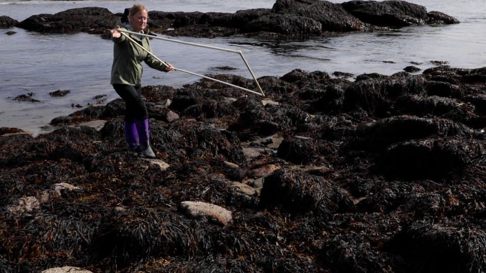 Assessing Intertidal Populations of the Invasive European Green Crab