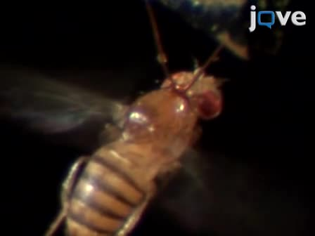 Operant Learning of Drosophila at the Torque Meter