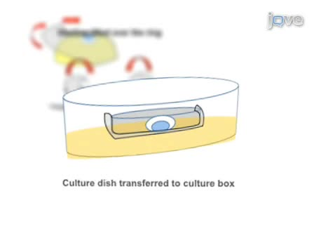 Method for Culture of Early Chick Embryos ex vivo (New Culture)