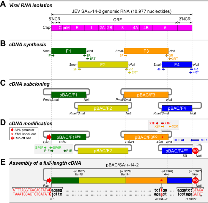 Bacterial Artificial Chromosomes  A Functional Genomics Tool For The Study Of Positive