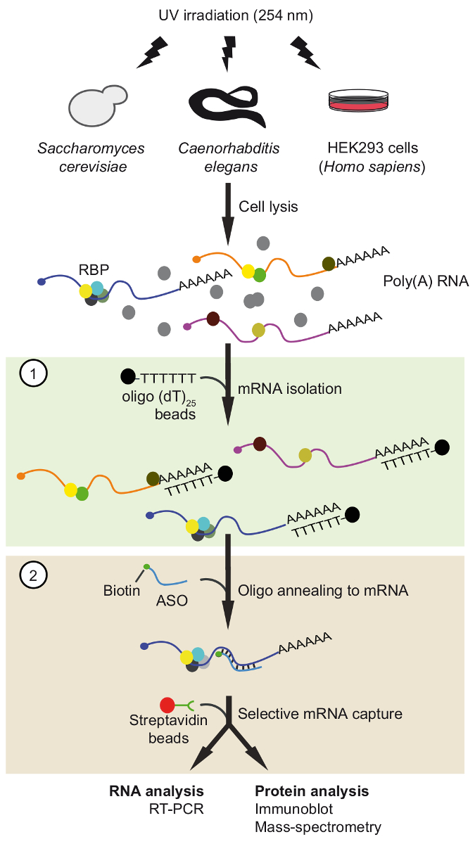 An Oligonucleotide-based Tandem RNA Isolation Procedure to Recover  Eukaryotic mRNA-Protein Complexes | Protocol (Translated to Arabic)