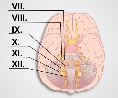 脳神経試験 II (VII XII)