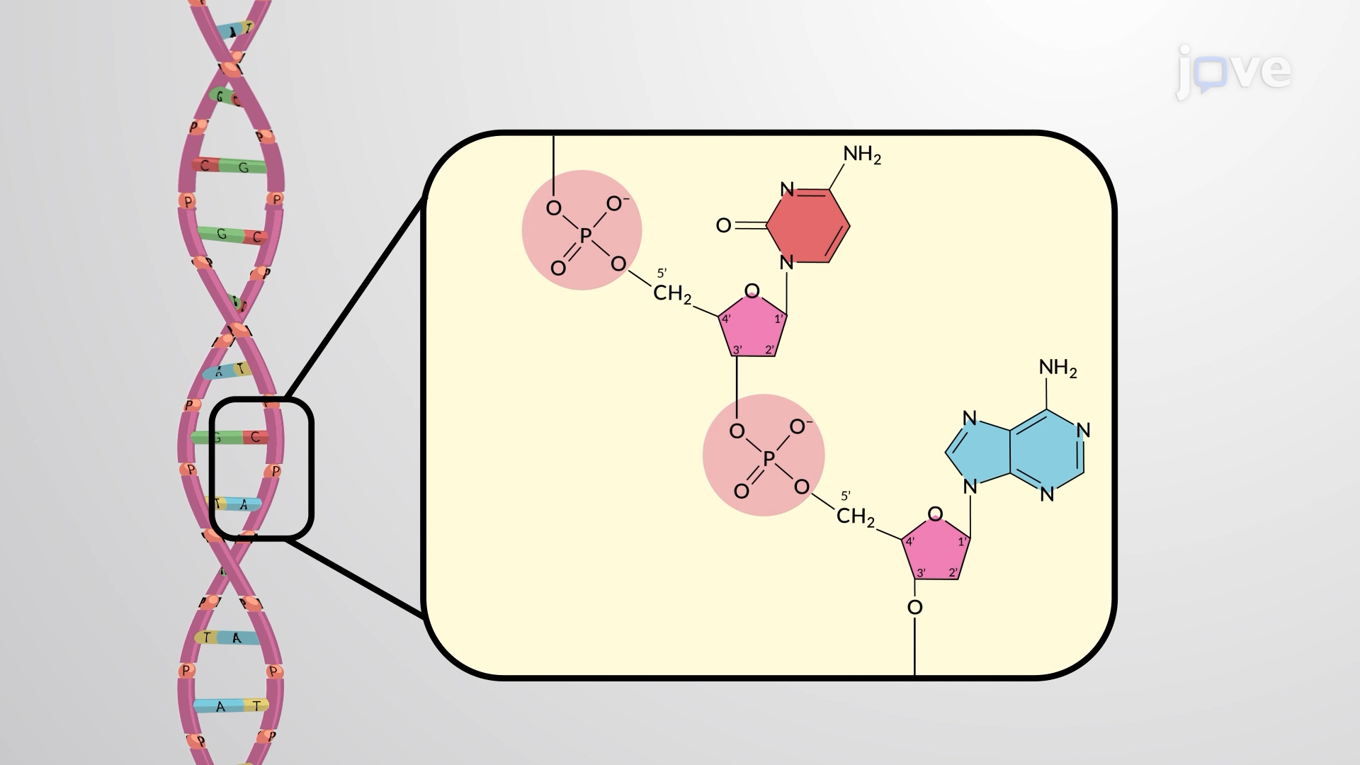 Phosphodiester Linkages