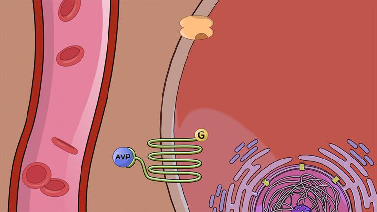 Endokrine Signalgebung