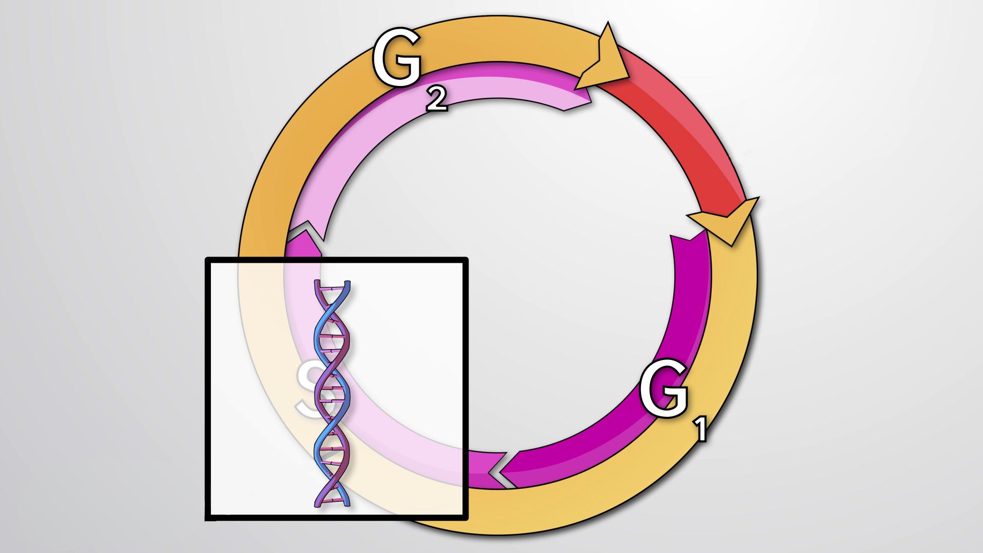 Wat is de celcyclus?