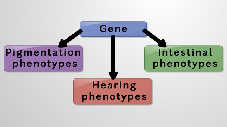 Pleiotropie