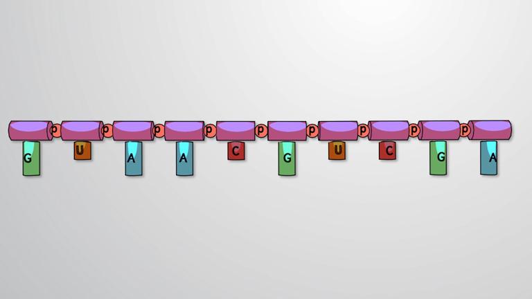 Structure de l'ARN