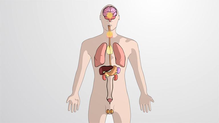 Was ist das Endokrine System?