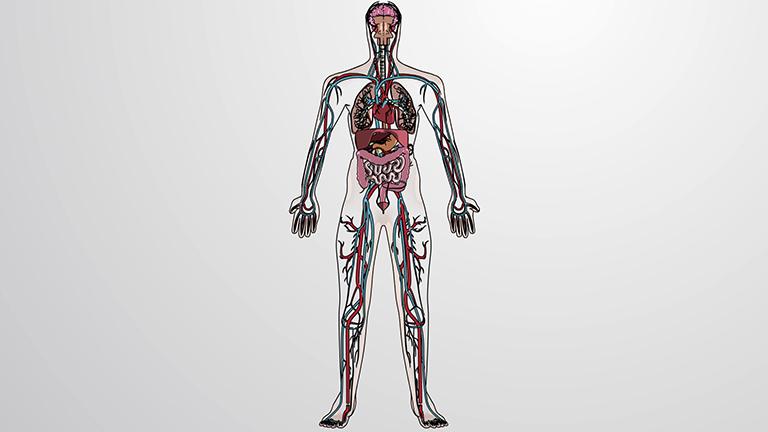 循环系统的剖析