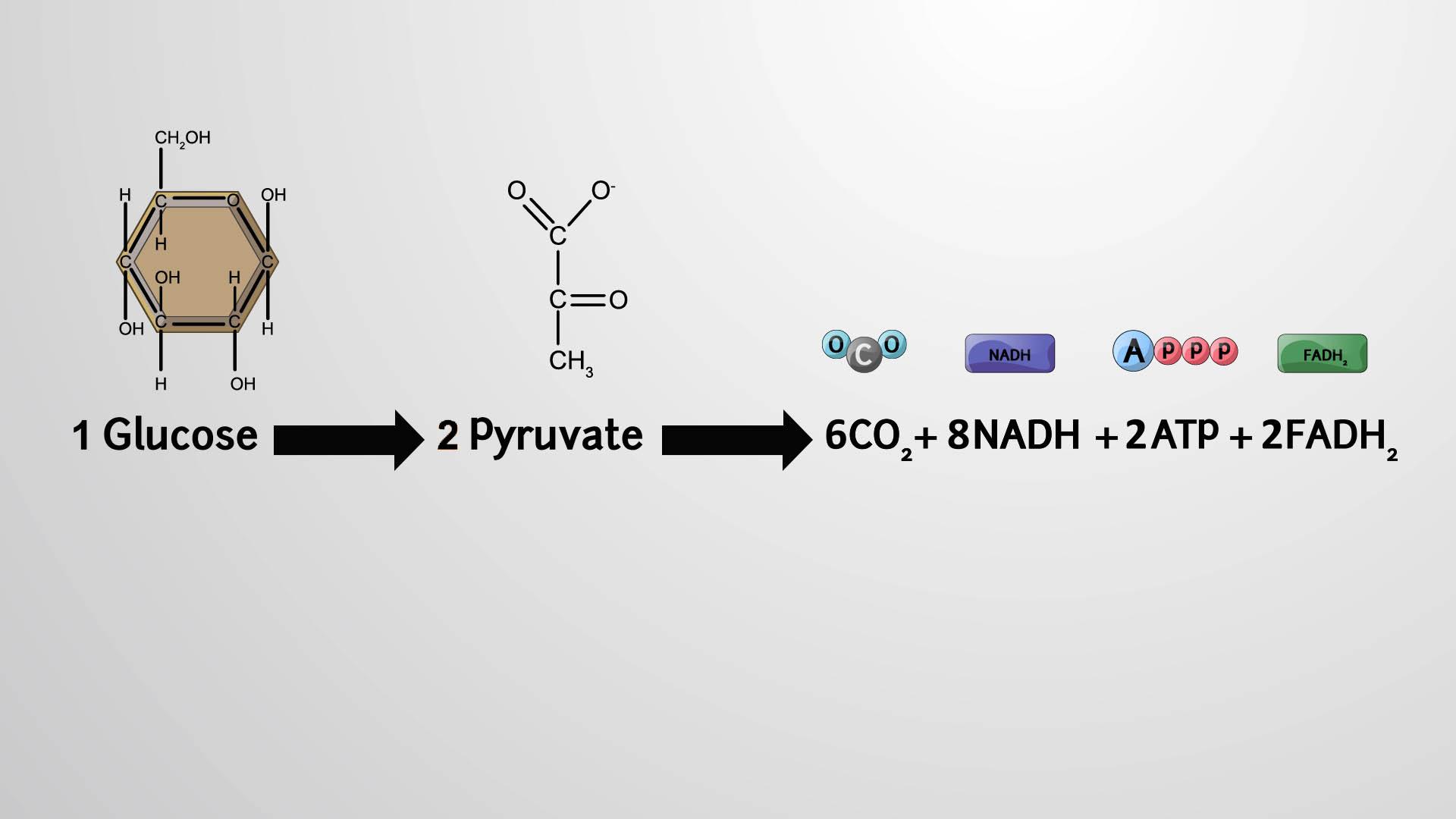 Productos del ciclo del ácido cítrico