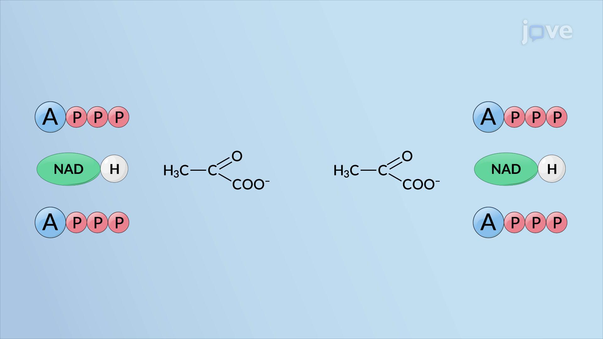 Resultados de la glucólisis