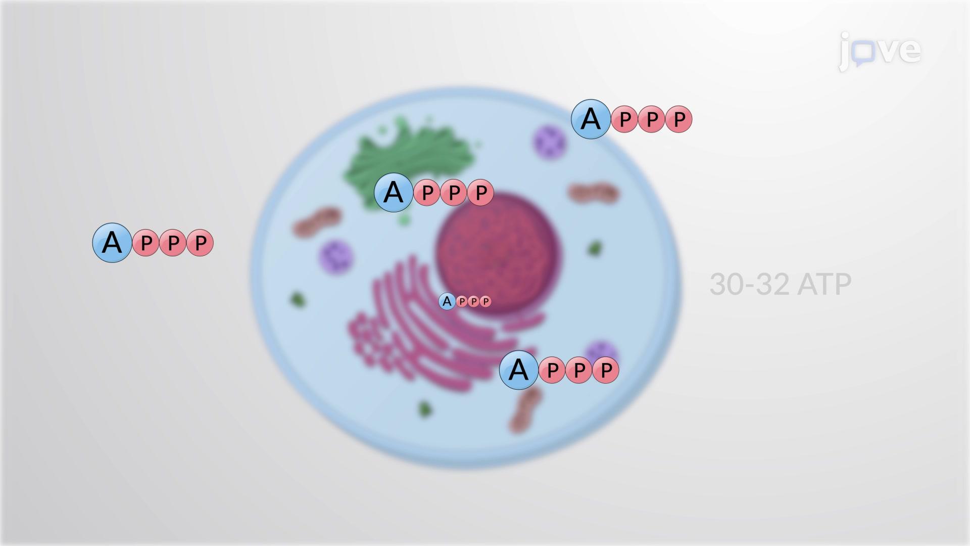 Rendimiento energético del ATP
