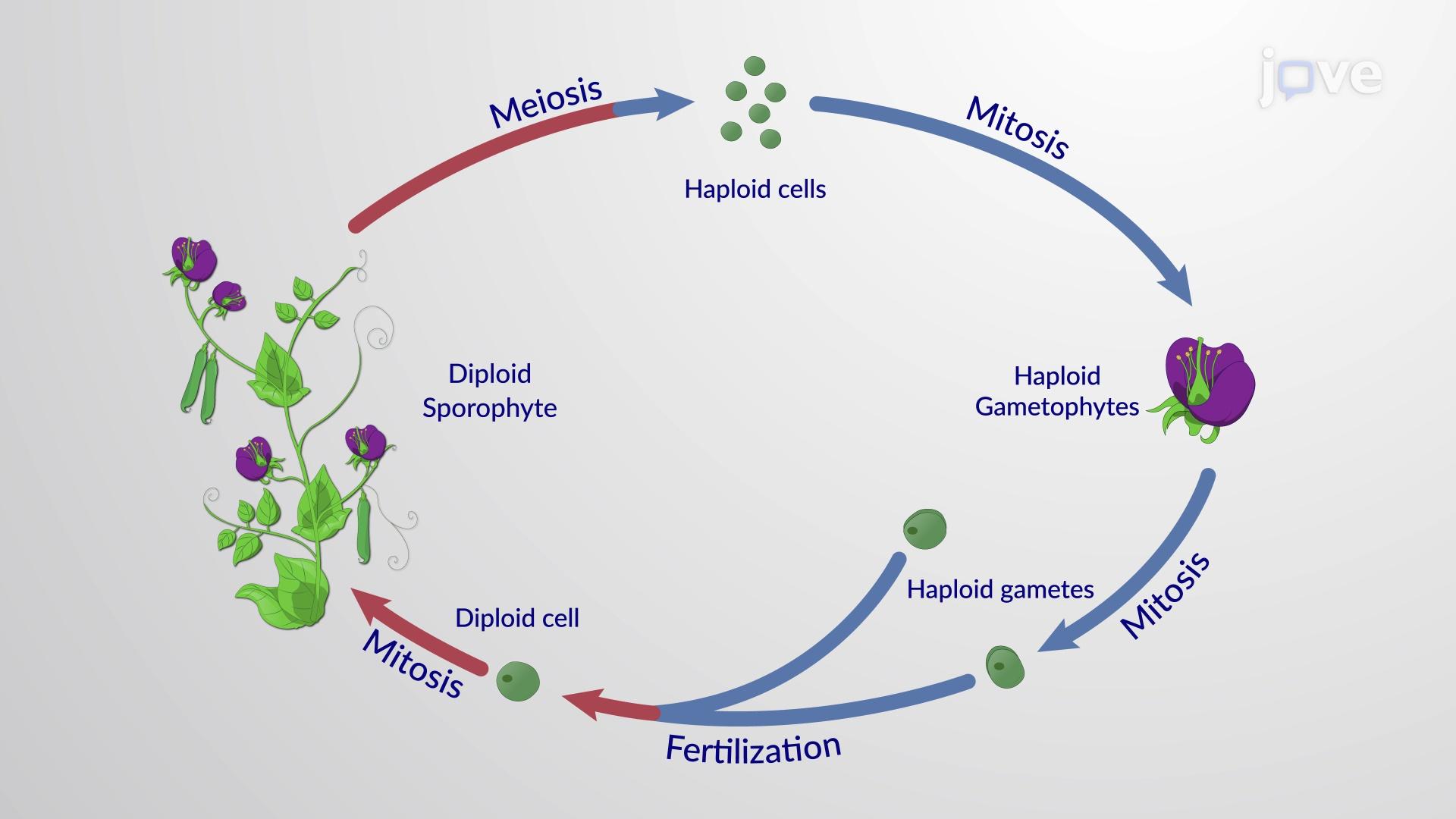 被子植物的生命周期