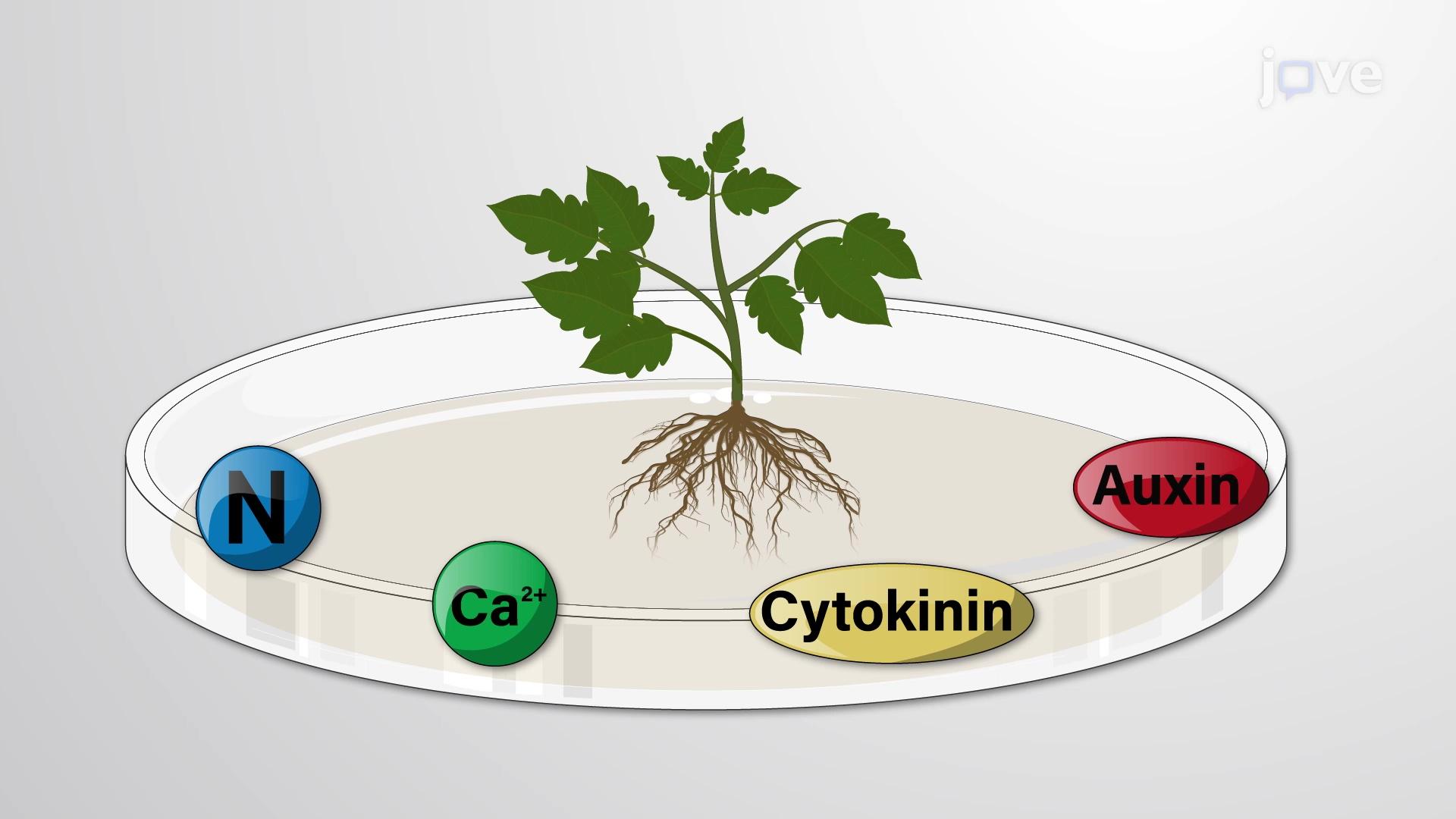 Культура ткани растений