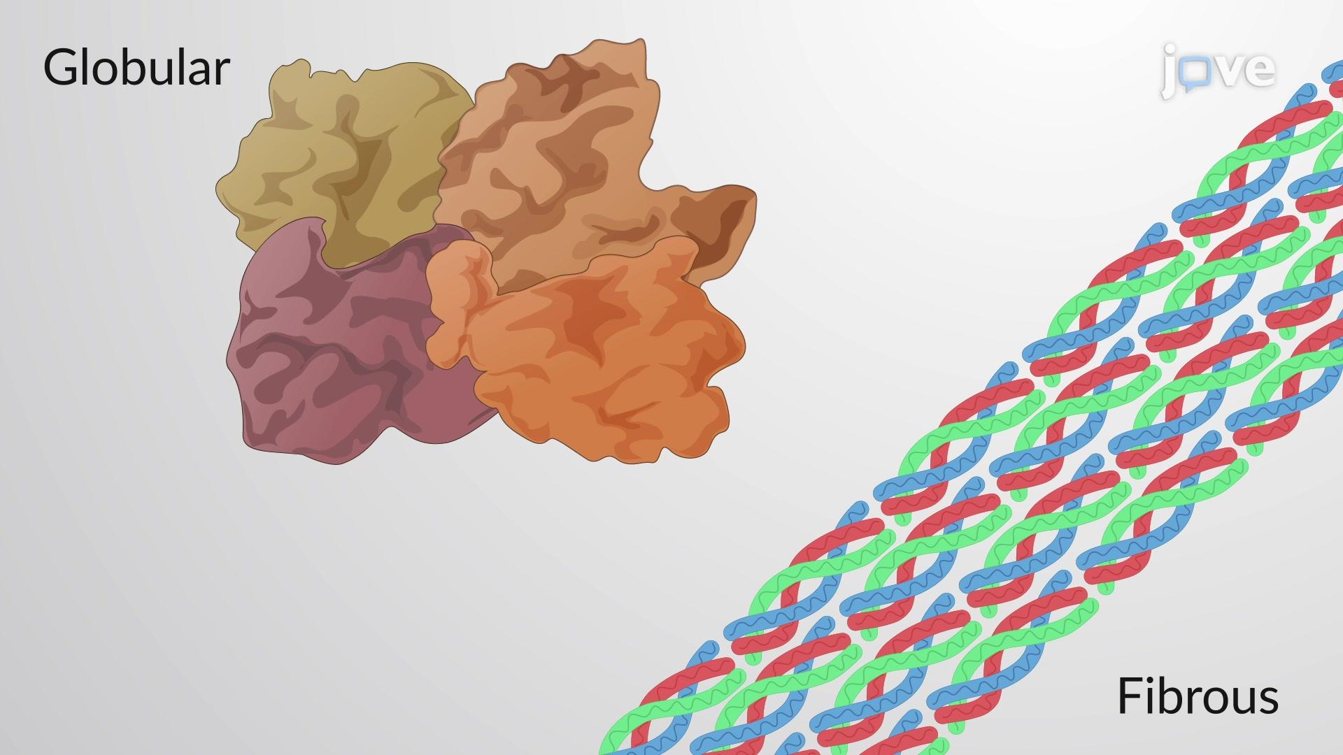 Globular and Fibrous Proteins