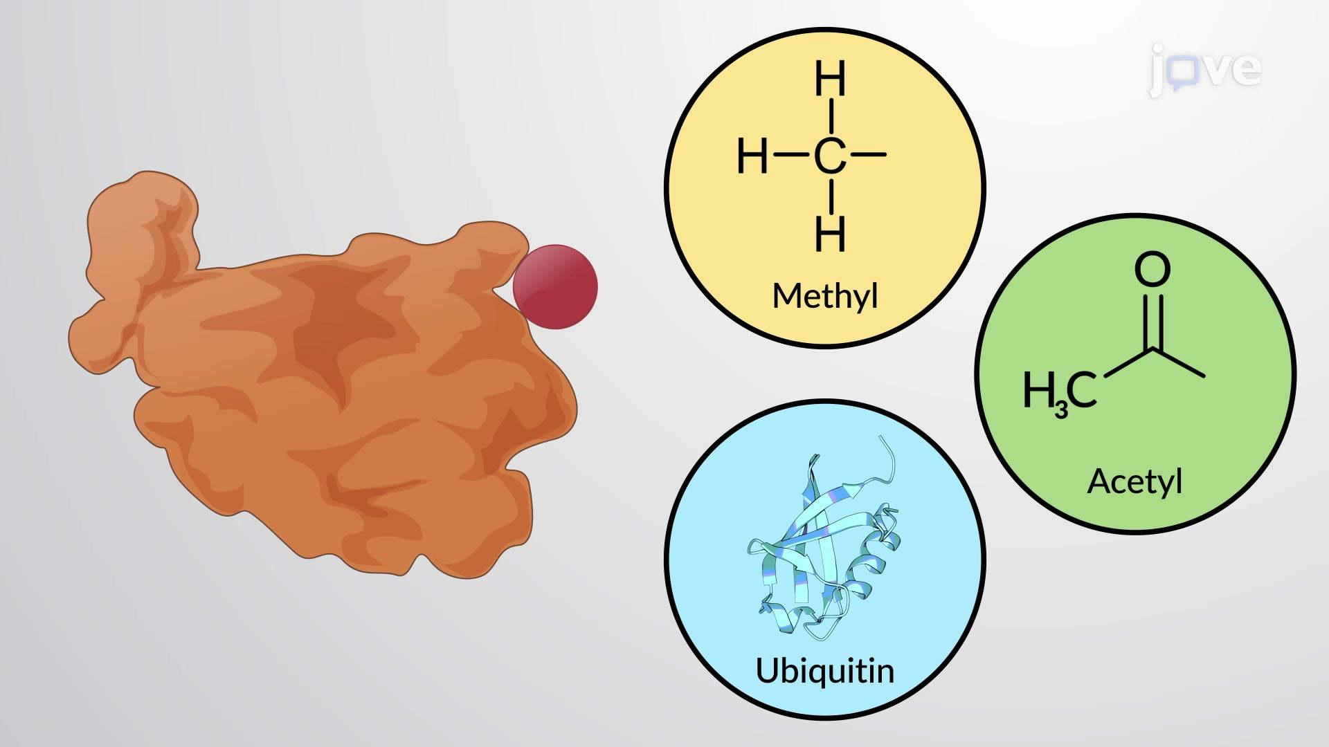 Regolatori di proteine covalentemente legate