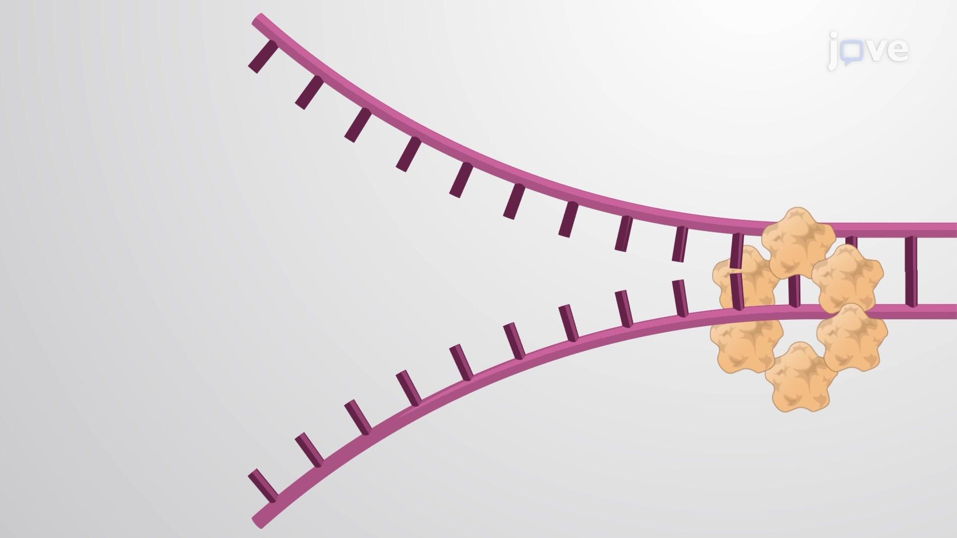 La fourche de réplication de l'ADN