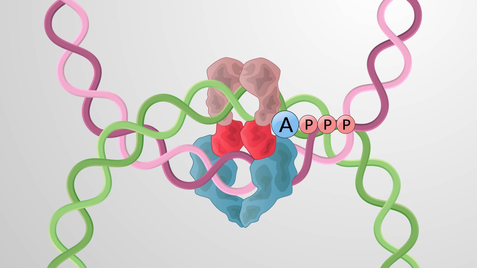 ADN Topoisomérases