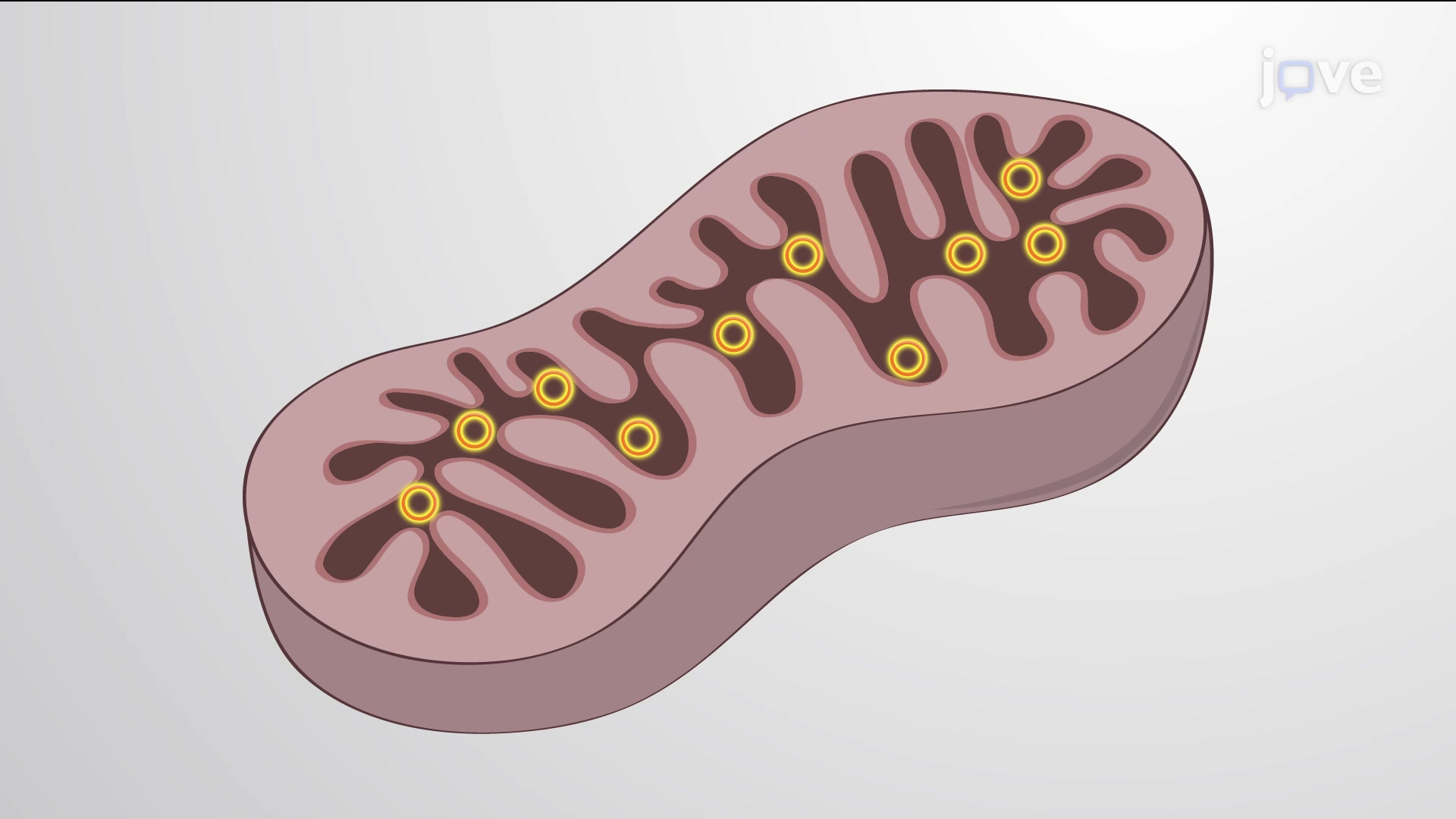 Génome mitochondrial animal