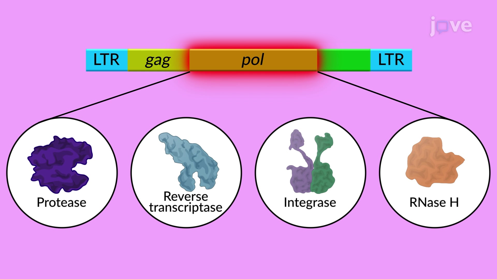 LTR Retrotranspozonları