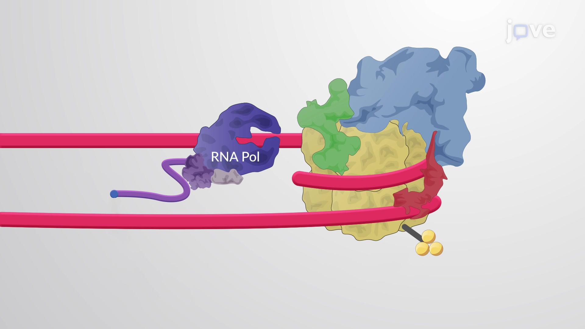 Chromatin Structure Regulates pre-mRNA Processing