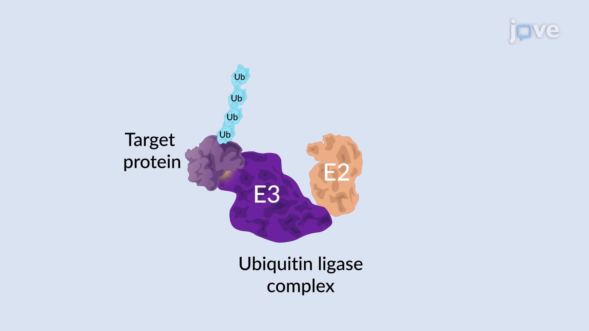 تحلل بروتينى منظم