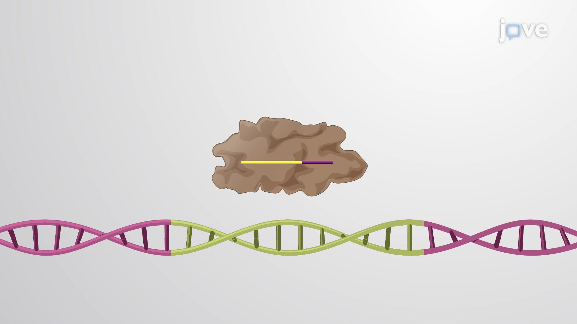 CRISPR(核酸剪刀)和crRNA