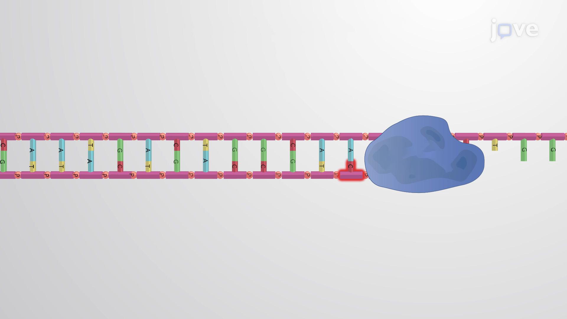 Genome Copying Errors