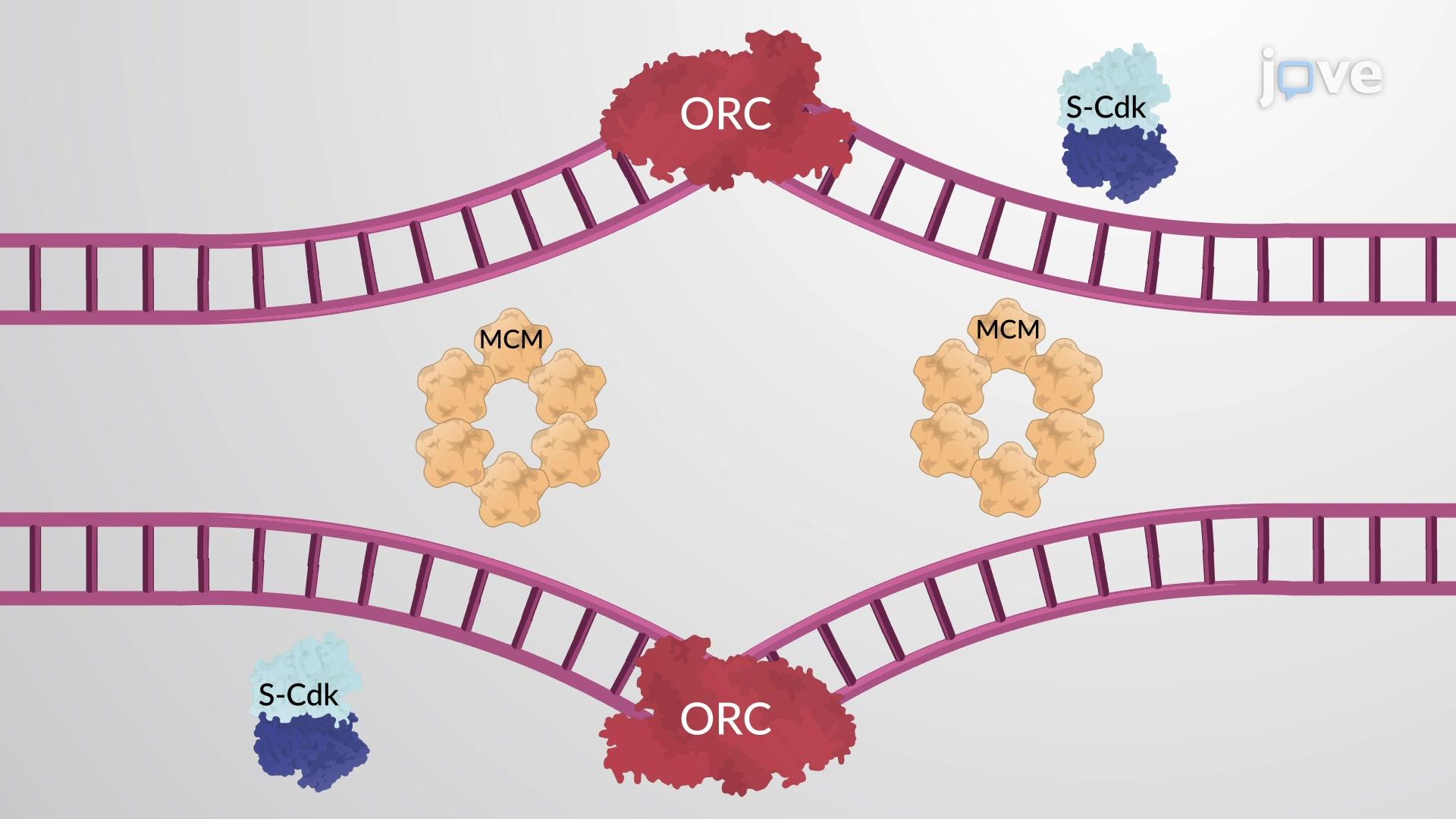 S-Cdk Initiates DNA Replication