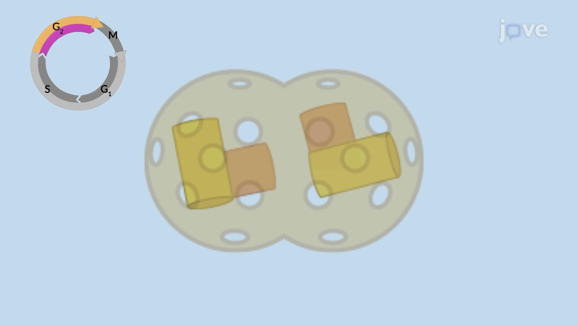 Centrosome Duplication